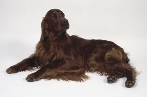 An Irish setter with a long deep red coat lies on the floor with its forelegs extended.