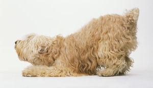 Irish Soft-coated Wheaten Terrier (Canis familiaris) crouching, side view