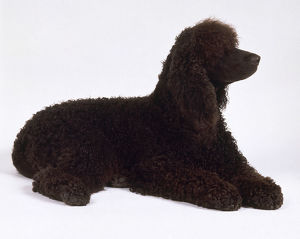 Irish water spaniel lying down.