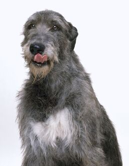 Irish Wolfhound licking its nose, front view