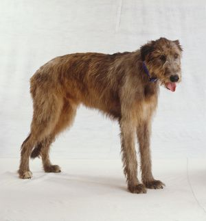 Irish wolfhound, long brown scruffy fur standing, panting with toingue out, wearing blue collar