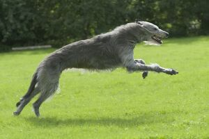 Irish Wolfhound running across grass