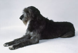 Irish Wolfhound, sitting down with paws out