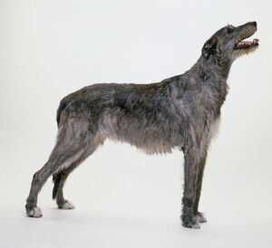 Irish Wolfhound standing, looking up