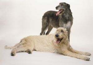 Two Irish wolfhounds, one standing, one lying down, cream-colored, dark gray, panting