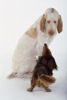 Italian Spinone and Dachshund face to face