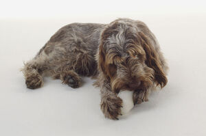 An Italian Spinone lies on the floor chewing a bone using both forepaws