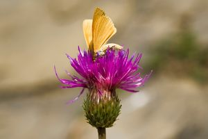Italy. Lombardia. Val di Scalve. Orobie Mountain. Butterfly on flower