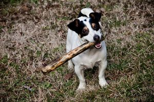 Jack Russell Dog with a Stick