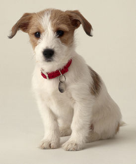 Jack Russell puppy (Canis familiaris)