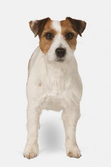 Jack Russell Terrier, front view
