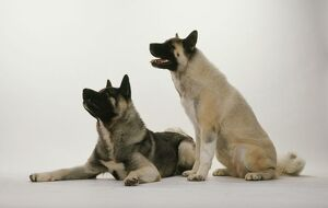 Two Japanese Akita dogs, lying down and sitting