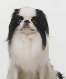 Japanese Chin dog (Canis familiaris), portrait.