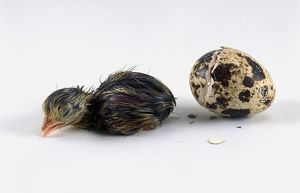Japanese quail (Coturnix japonica) hatchling next to broken egg shell