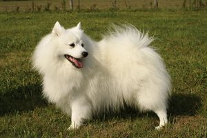 Japanese Spitz dog standing on grass, looking over shoulder
