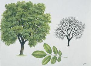 Juglandaceae - Persian or English walnut Juglans regia, illustration