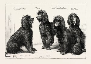 The Kennel Club Show At The Agricultural Hall: A Successful Family Of Irish Water-spaniels
