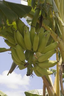 food drink/fruit/kenya lamu archipelago pate island banana tree