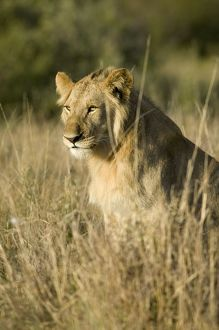 Kenya, Masai Mara National Reserve, a young male lion in the grass