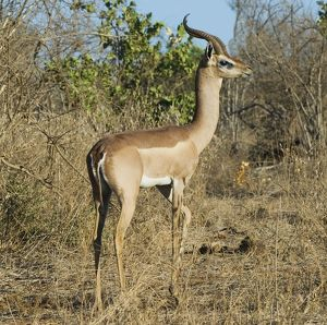 Kenya, Tsavo National Park, Gerenuk (Litocranius walleri), side view