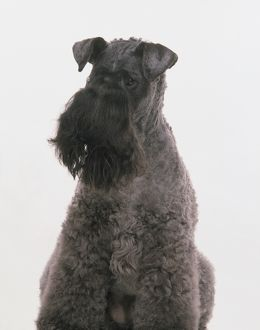 Kerry Blue Terrier, sitting, front view