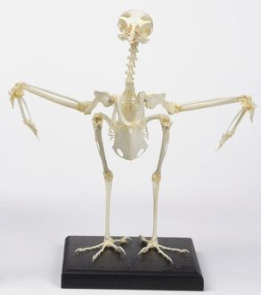Front view of a sparrowhawk skeleton