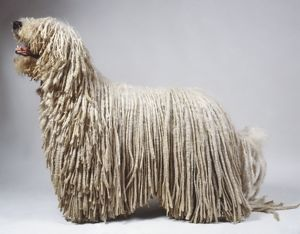 animals/profile/komondor dog canis familiaris displaying distinctive