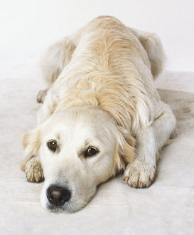 Labrador Retriever (Canis familiaris), lying on the floor, facing forward