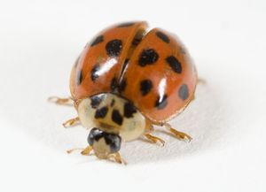 Ladybird (Adalia 10-Punctata) standing, close-up