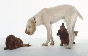 A large white Italian spinone sniffs at a smaller reddish dachshund while being scrutinized