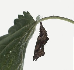 Larva from Comma butterfly (Polygonia c-album) hanging from a plant, close-up