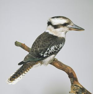 Laughing Kookaburra (Dacelo novaeguineae), perching on a branch, side view