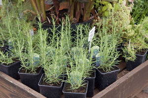 Lavender in plant pots with labels on display at garden centre