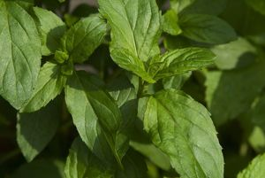 Leaves from basil mint, a form of mint, close-up