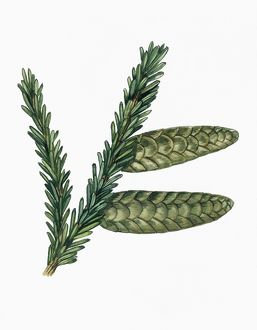 Leaves and cones of Caucasian Spruce Picea orientalis, illustration