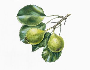 Leaves and fruits of Wild Pear Pyrus pyraster, illustration