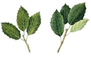 Leaves of Holm Oak Quercus ilex and Cork Oak Quercus suber, illustration