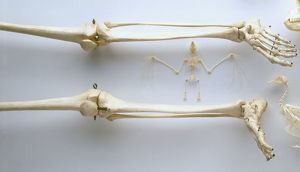 Legs and feet of human skeleton, thigh bones, knees, lower leg bones, ankles, feet and toes
