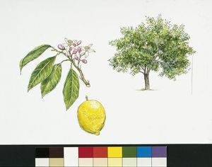 Lemon (Citrus limon), plant with leaves and flowers, illustration