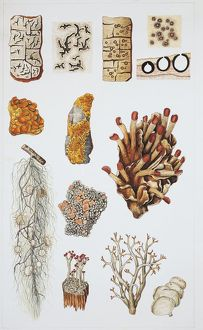 Lichens, specimens of subspecies, illustration