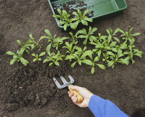 Lifting Erysimum sp. (Wallflower) seedlings from seedbed using a gardening fork, close-up