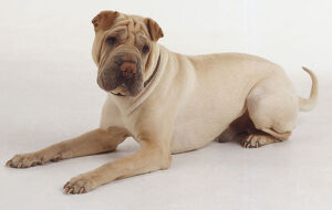 A light tan Shar Pei lies on the ground with its head cocked.