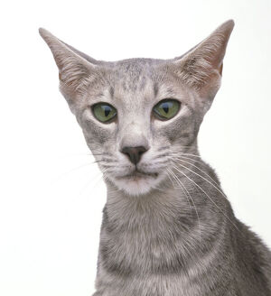 Lilac Oriental Tabby shorthair cat with green eyes, haws slightly raised