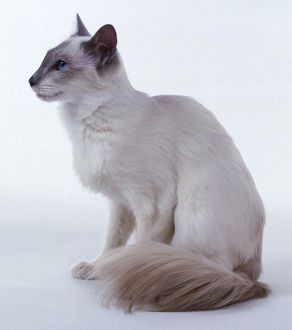 Lilac Point Balinese cat with long, wedge-shaped head and well-plumed tail, sitting down