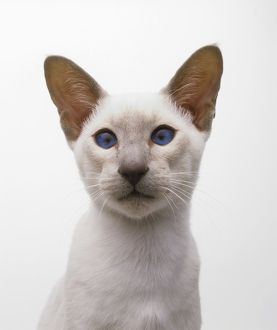 Lilac Point Siamese cat, looking at camera