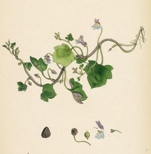 Linaria Cymbalaria, Ivy-leaved Toadflax