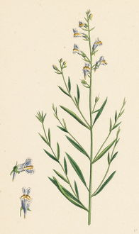 Linaria vulgari repens, Hybrid between Yellow and Striped Toadflax