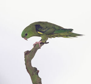 Lineolated parakeet (Bolborhynchus lineola), perching on a branch, side view