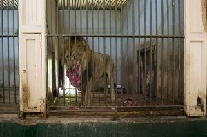 Lion in cage eating raw meat