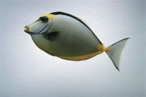 Lipstick tang (Naso tang) fish, side view